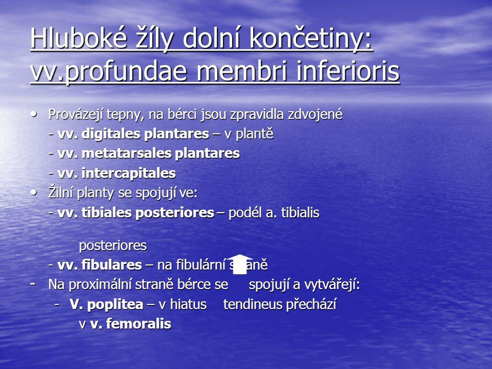 Hluboké žíly dolní končetiny: vv.profundae membri inferioris Provázejí tepny, na bérci jsou zpravidla zdvojené Provázejí tepny, na bérci jsou zpravidl