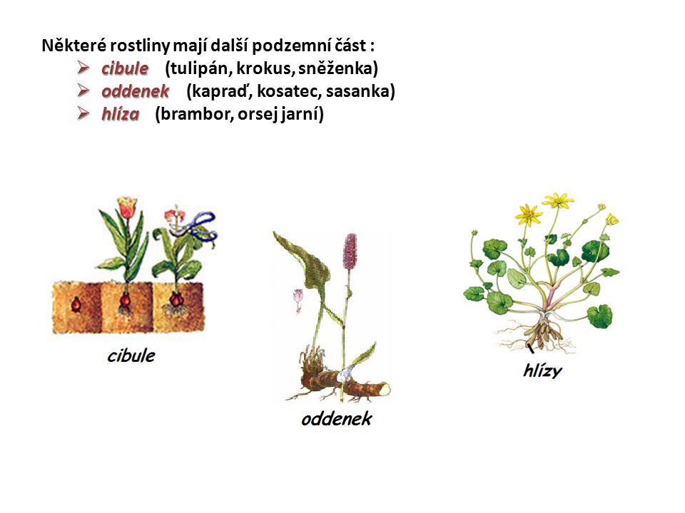 Některé rostliny mají další podzemní část :  cibule  cibule (tulipán, krokus, sněženka)  oddenek  oddenek (kapraď, kosatec, sasanka)  hlíza  hlí