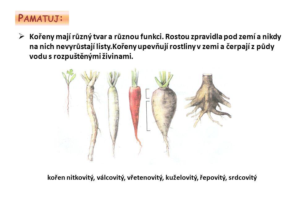 P AMATUJ :  Kořeny mají různý tvar a různou funkci. Rostou zpravidla pod zemí a nikdy na nich nevyrůstají listy.Kořeny upevňují rostliny v zemi a čer