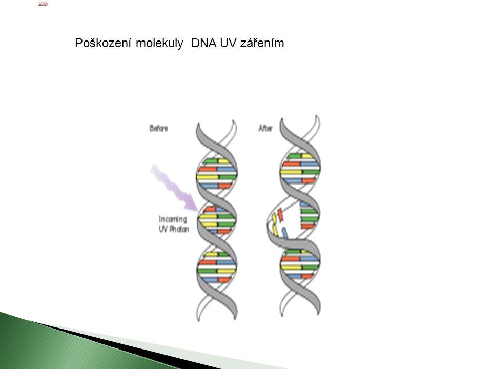 Poškození molekuly DNA UV zářenímDNA Poškození molekuly DNA UV zářením