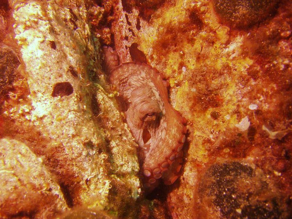 Chobotnice modrokroužková  Velikost 10 cm  Nejnebezpečněj ší druh chobotnice