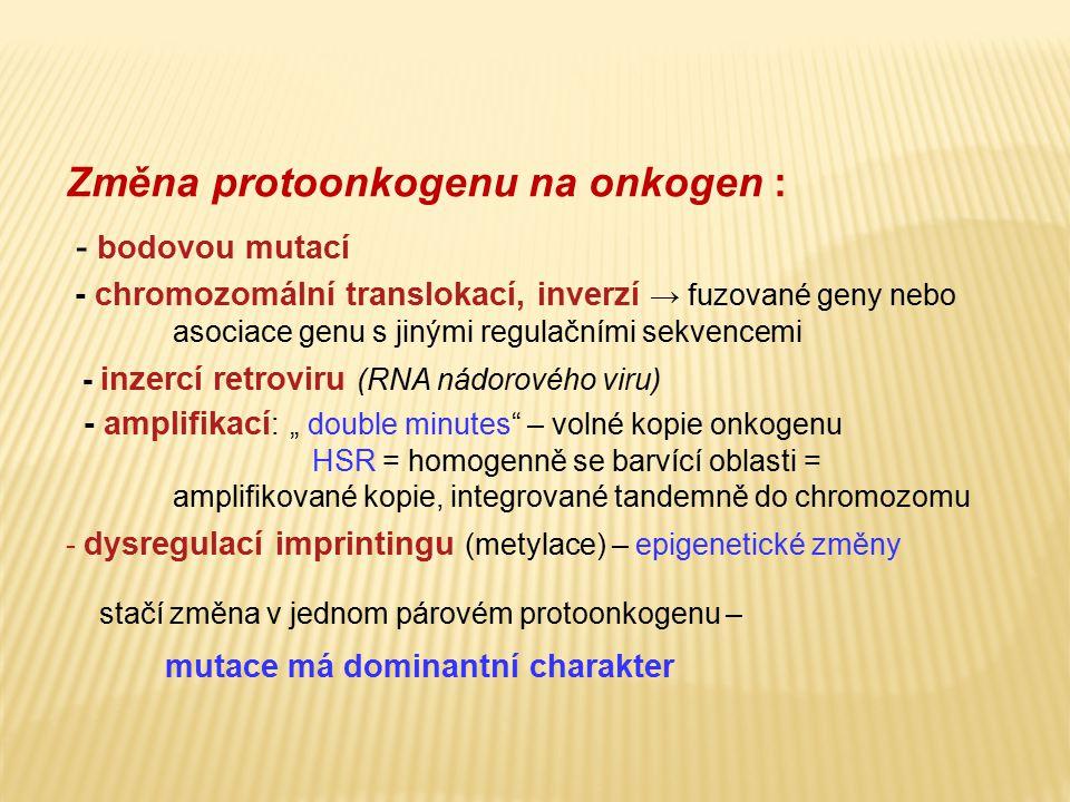 Změna protoonkogenu na onkogen : - bodovou mutací - chromozomální translokací, inverzí → fuzované geny nebo asociace genu s jinými regulačními sekvenc