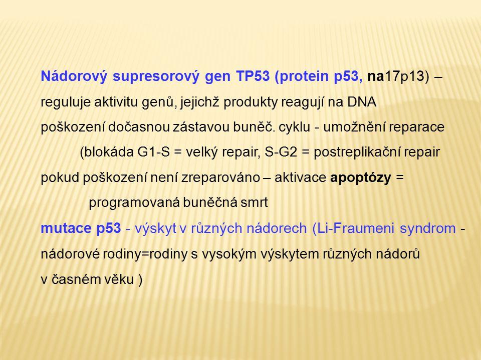 Nádorový supresorový gen TP53 (protein p53, na17p13) – reguluje aktivitu genů, jejichž produkty reagují na DNA poškození dočasnou zástavou buněč. cykl