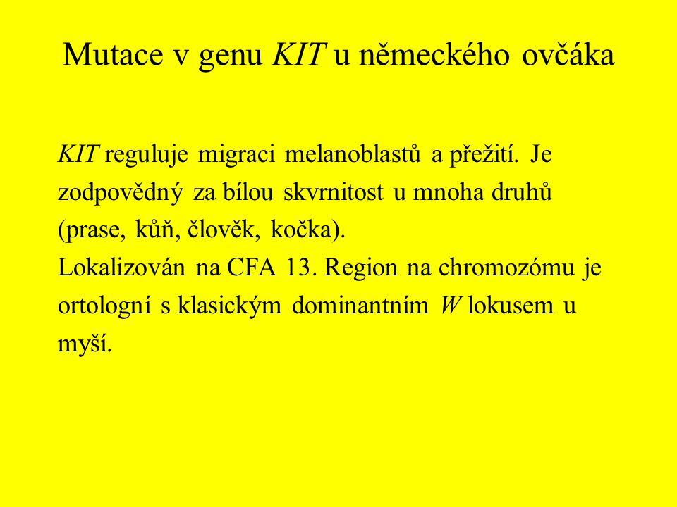 Mutace v genu KIT u německého ovčáka KIT reguluje migraci melanoblastů a přežití. Je zodpovědný za bílou skvrnitost u mnoha druhů (prase, kůň, člověk,