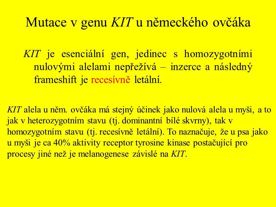 Mutace v genu KIT u německého ovčáka KIT je esenciální gen, jedinec s homozygotními nulovými alelami nepřežívá – inzerce a následný frameshift je rece