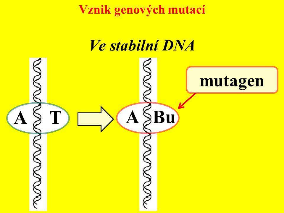 Vznik genových mutací A Bu A T mutagen Ve stabilní DNA