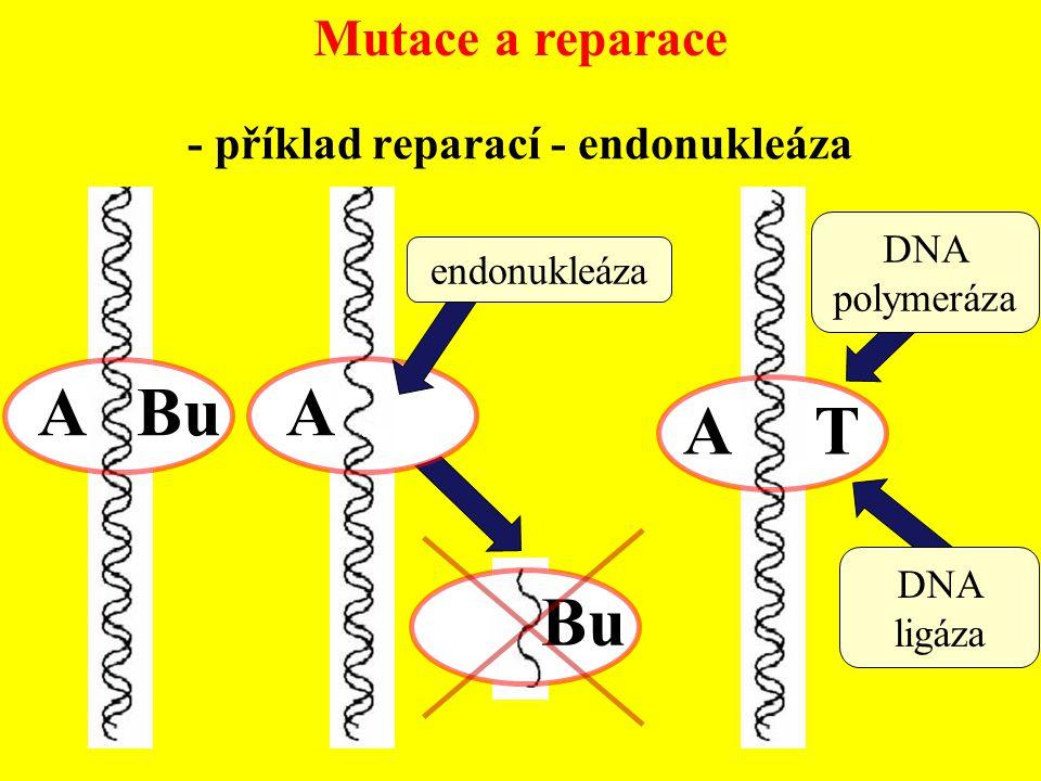 Mutace a reparace - příklad reparací - endonukleáza A Bu A Bu endonukleáza DNA polymeráza DNA ligáza A T