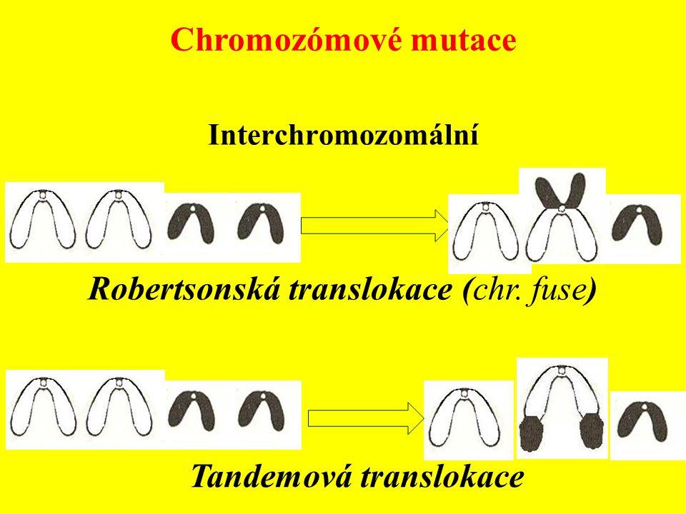 Interchromozomální Robertsonská translokace (chr. fuse) Tandemová translokace Chromozómové mutace