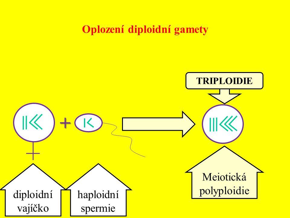 Oplození diploidní gamety Meiotická polyploidie TRIPLOIDIE diploidní vajíčko haploidní spermie +