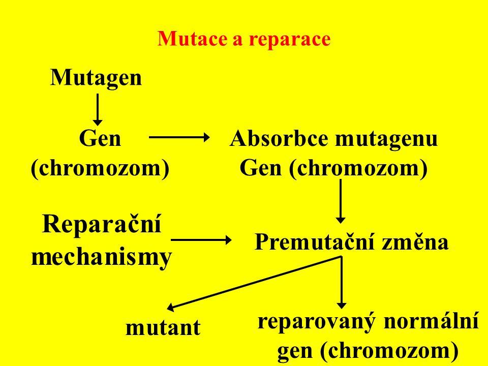 Mutace a reparace Mutagen Gen (chromozom) Absorbce mutagenu Gen (chromozom) Premutační změna Reparační mechanismy mutant reparovaný normální gen (chro
