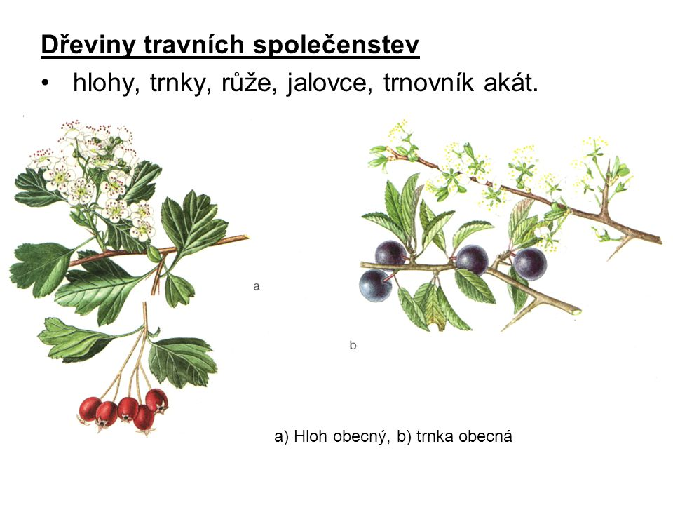 Dřeviny travních společenstev hlohy, trnky, růže, jalovce, trnovník akát. a) Hloh obecný, b) trnka obecná