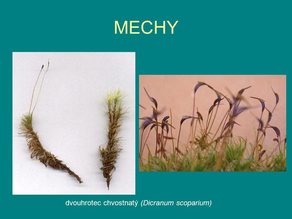 MECHY dvouhrotec chvostnatý (Dicranum scoparium)