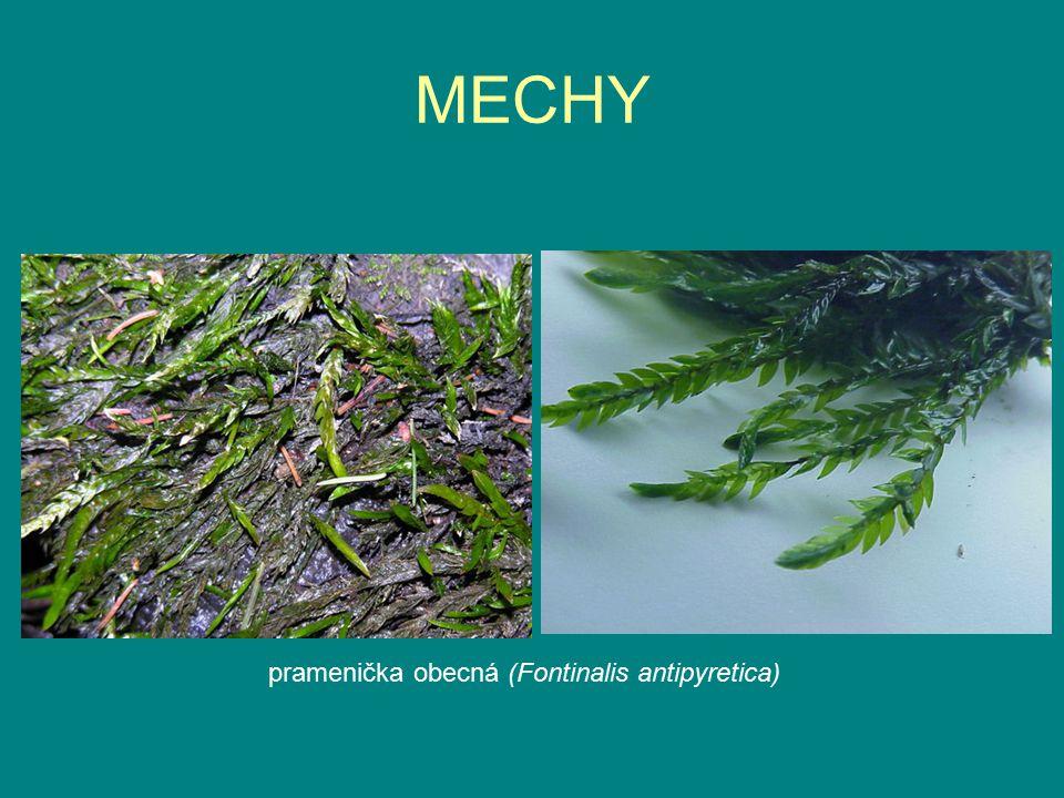 MECHY pramenička obecná (Fontinalis antipyretica)