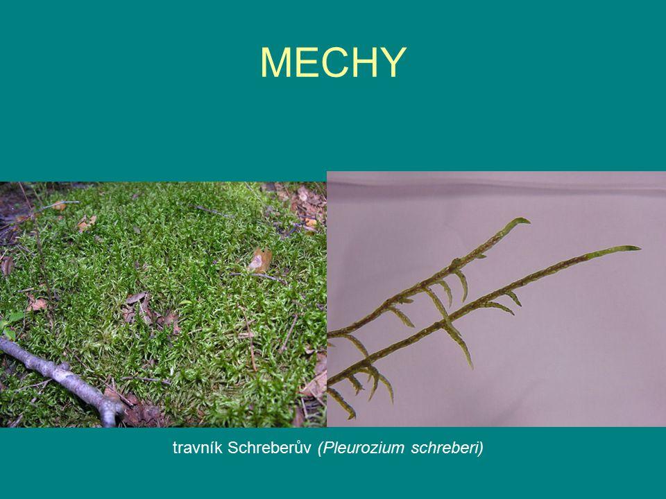 MECHY travník Schreberův (Pleurozium schreberi)