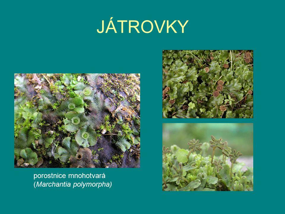 JÁTROVKY porostnice mnohotvará (Marchantia polymorpha)