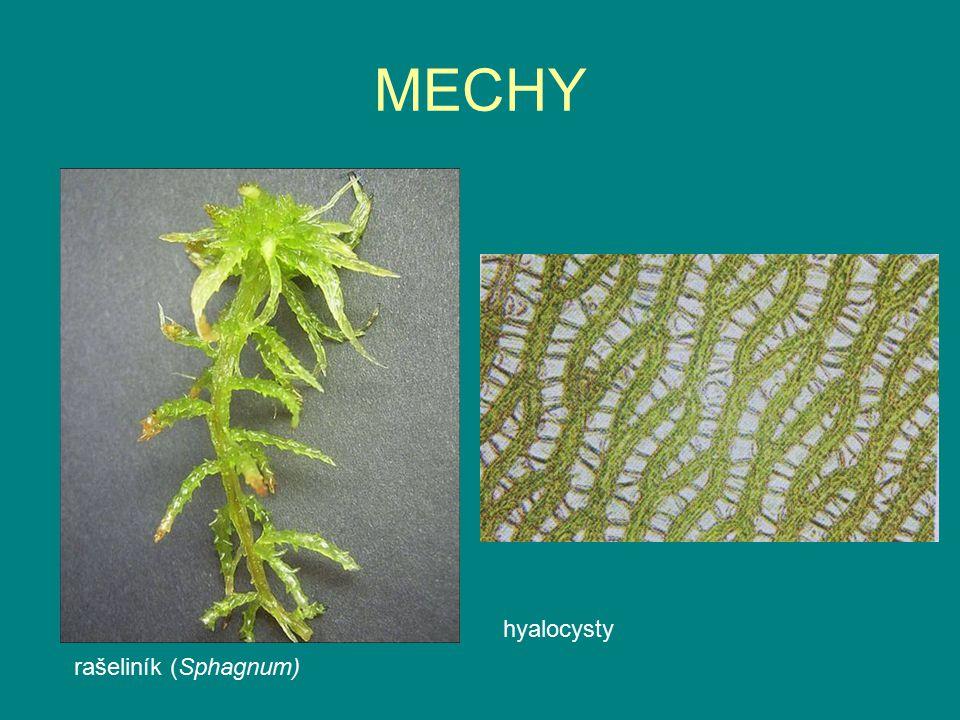 MECHY rašeliník (Sphagnum) hyalocysty