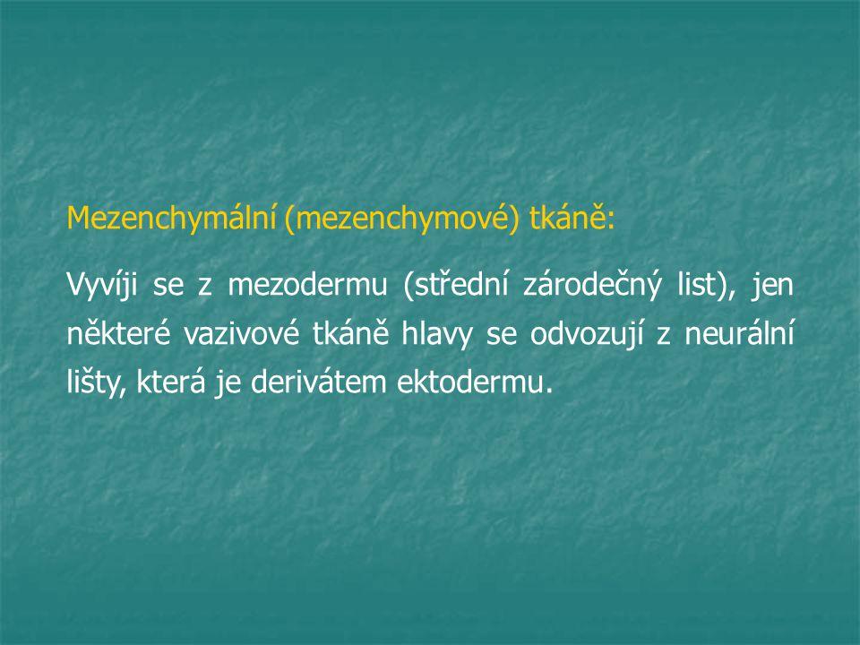 Mezenchymální (mezenchymové) tkáně: Vyvíji se z mezodermu (střední zárodečný list), jen některé vazivové tkáně hlavy se odvozují z neurální lišty, kte