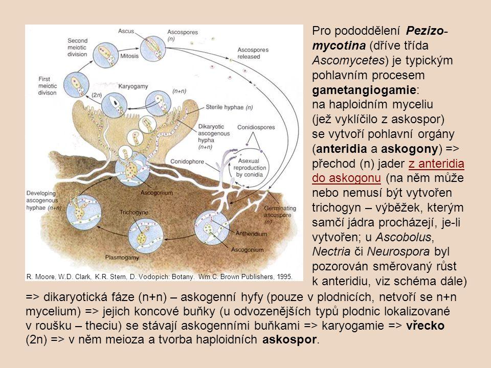 => dikaryotická fáze (n+n) – askogenní hyfy (pouze v plodnicích, netvoří se n+n mycelium) => jejich koncové buňky (u odvozenějších typů plodnic lokalizované v roušku – theciu) se stávají askogenními buňkami => karyogamie => vřecko (2n) => v něm meioza a tvorba haploidních askospor.