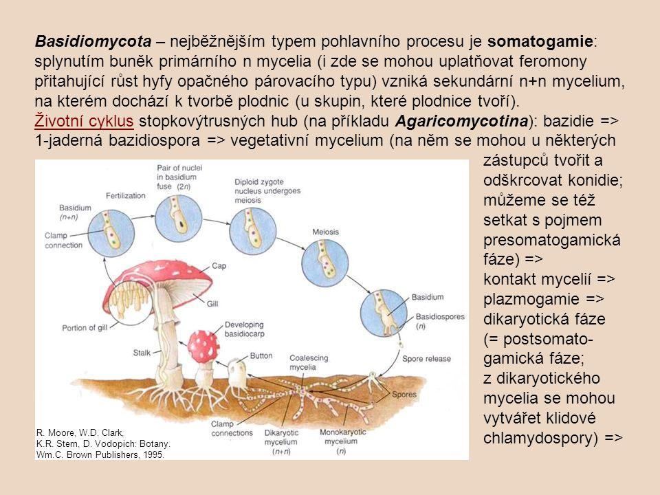 Basidiomycota – nejběžnějším typem pohlavního procesu je somatogamie: splynutím buněk primárního n mycelia (i zde se mohou uplatňovat feromony přitahující růst hyfy opačného párovacího typu) vzniká sekundární n+n mycelium, na kterém dochází k tvorbě plodnic (u skupin, které plodnice tvoří).