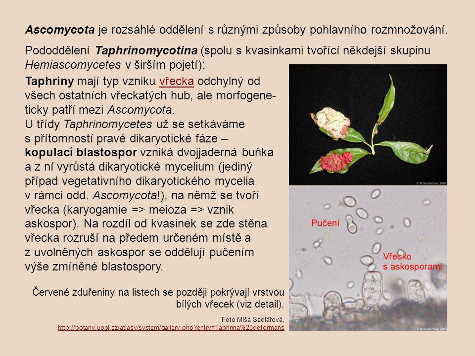 Ascomycota je rozsáhlé oddělení s různými způsoby pohlavního rozmnožování.