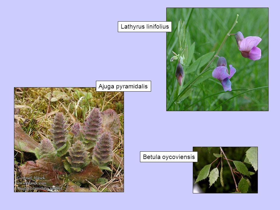 Ajuga pyramidalis Betula oycoviensis Lathyrus linifolius
