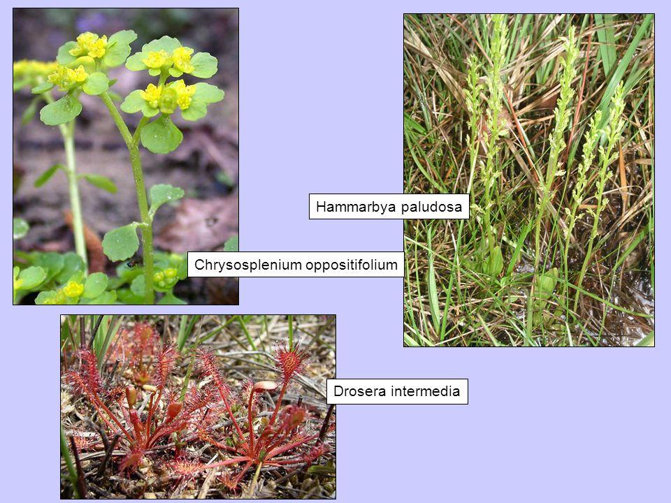 Hammarbya paludosa Chrysosplenium oppositifolium Drosera intermedia