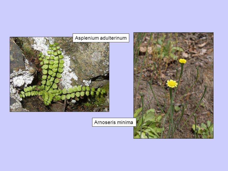 Asplenium adulterinum Arnoseris minima