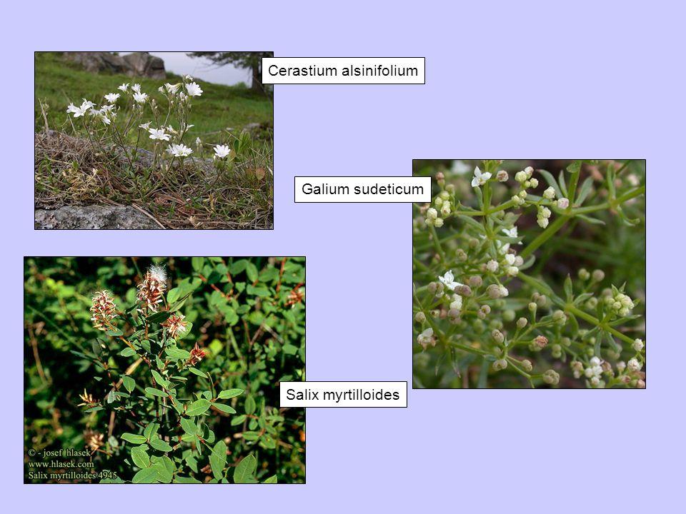 Galium sudeticum Cerastium alsinifolium Salix myrtilloides