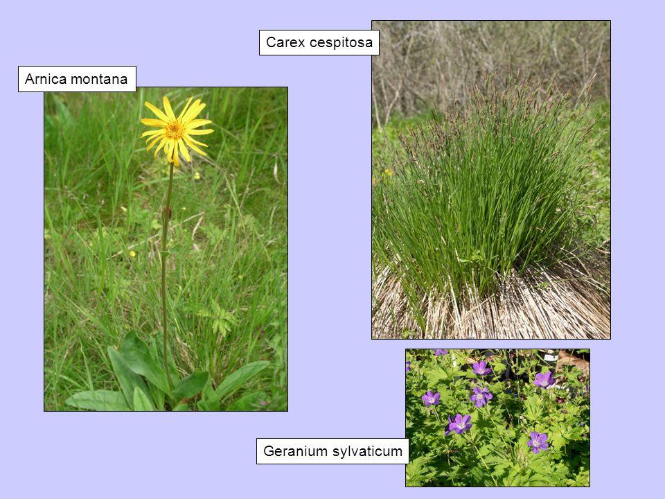 Arnica montana Carex cespitosa Geranium sylvaticum