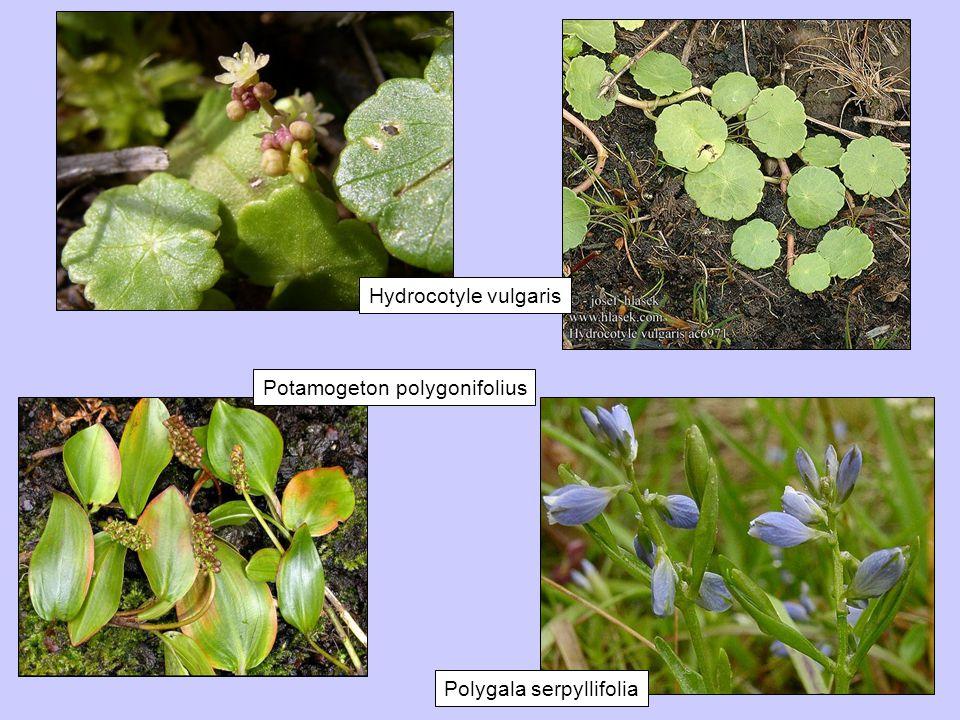 Polygala serpyllifolia Potamogeton polygonifolius Hydrocotyle vulgaris