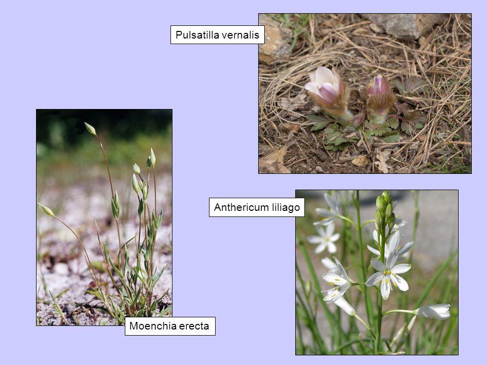 Moenchia erecta Anthericum liliago Pulsatilla vernalis