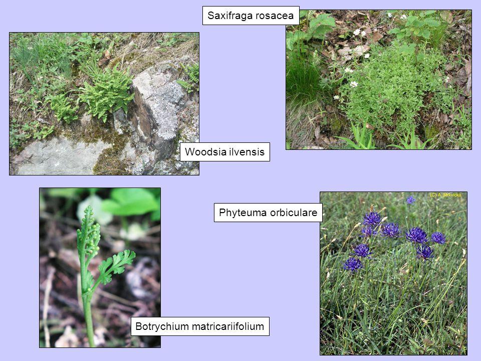 Saxifraga rosacea Woodsia ilvensis Botrychium matricariifolium Phyteuma orbiculare