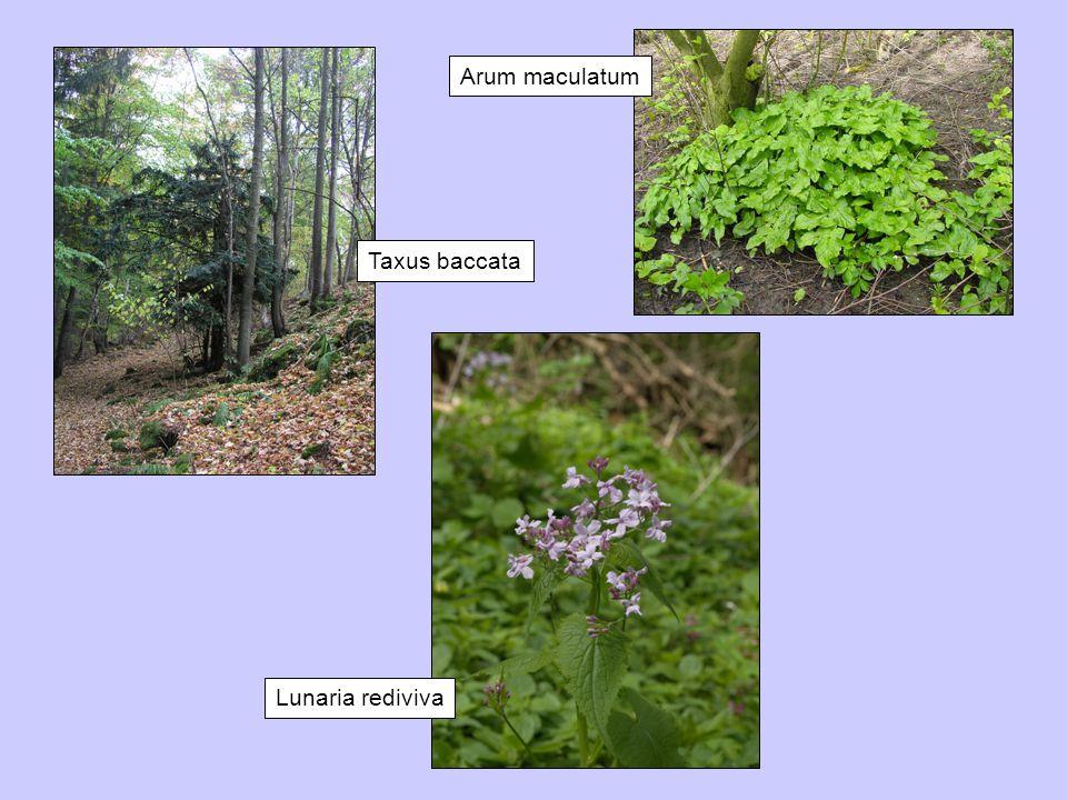 Arum maculatum Taxus baccata Lunaria rediviva