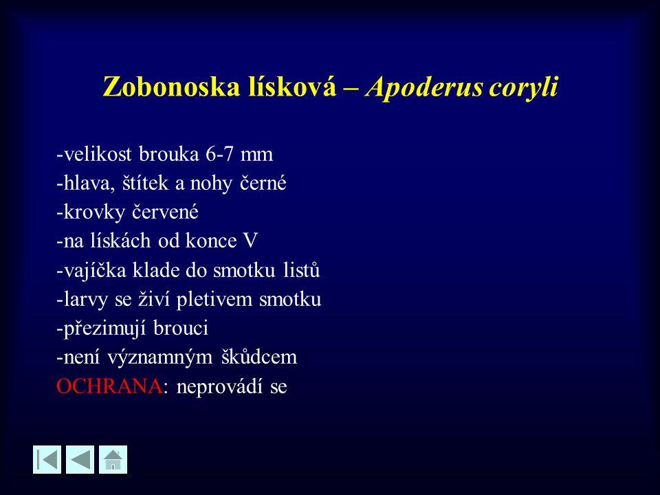 Zobonoska lísková – Apoderus coryli -velikost brouka 6-7 mm -hlava, štítek a nohy černé -krovky červené -na lískách od konce V -vajíčka klade do smotk