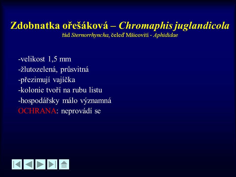 Zdobnatka ořešáková – Chromaphis juglandicola řád Sternorrhyncha, čeleď Mšicovití - Aphididae -velikost 1,5 mm -žlutozelená, průsvitná -přezimují vají