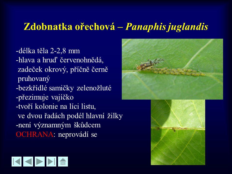 Zdobnatka ořechová – Panaphis juglandis -délka těla 2-2,8 mm -hlava a hruď červenohnědá, zadeček okrový, příčně černě pruhovaný -bezkřídlé samičky zel