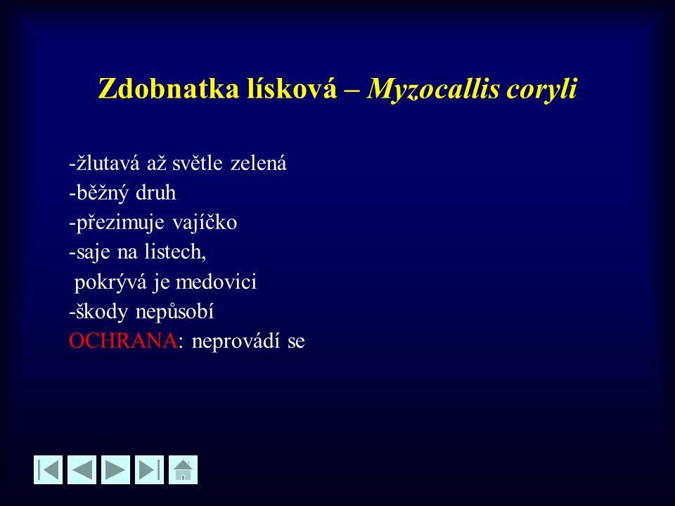 Zdobnatka lísková – Myzocallis coryli -žlutavá až světle zelená -běžný druh -přezimuje vajíčko -saje na listech, pokrývá je medovici -škody nepůsobí O