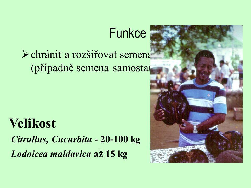 Funkce  chránit a rozšiřovat semena (případně semena samostatně) Velikost Citrullus, Cucurbita - 20-100 kg Lodoicea maldavica až 15 kg