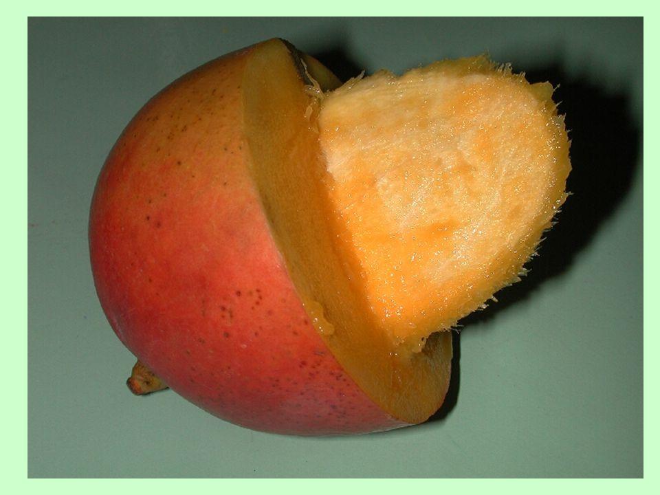 Cenokarpní nepukavé plody peckovice