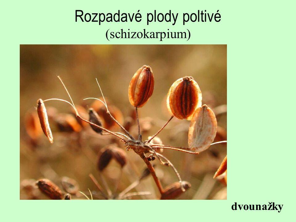 Rozpadavé plody poltivé (schizokarpium) dvounažky