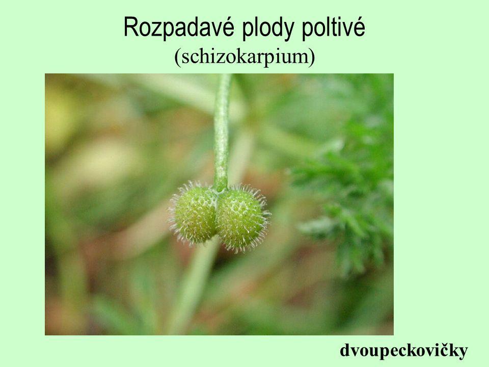 Rozpadavé plody poltivé (schizokarpium) dvoupeckovičky