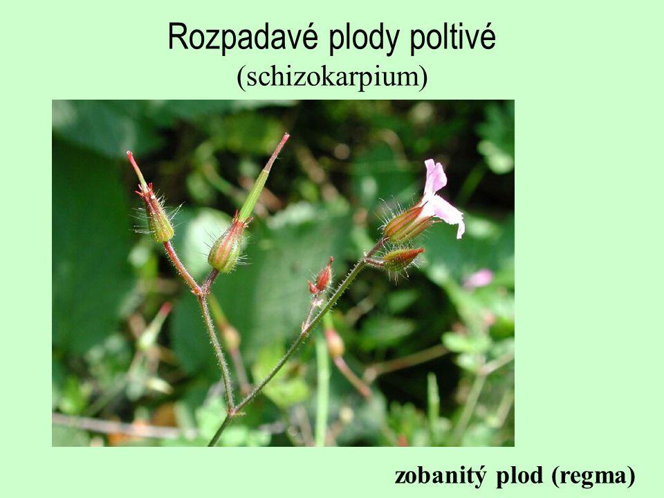 Rozpadavé plody poltivé (schizokarpium) zobanitý plod (regma)