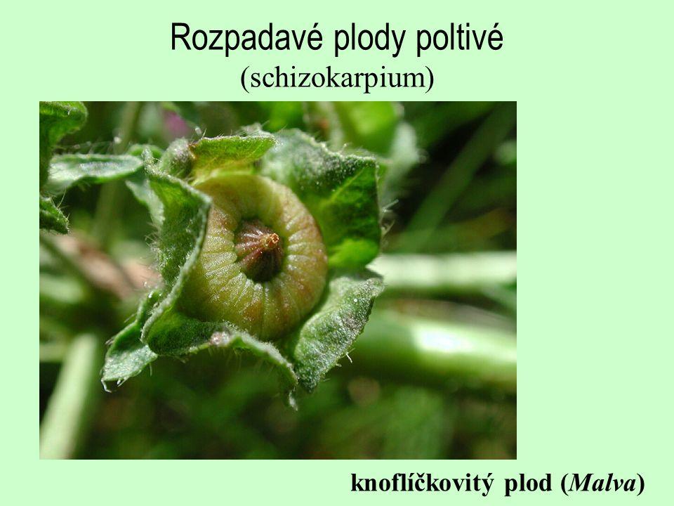 Rozpadavé plody poltivé (schizokarpium) knoflíčkovitý plod (Malva)
