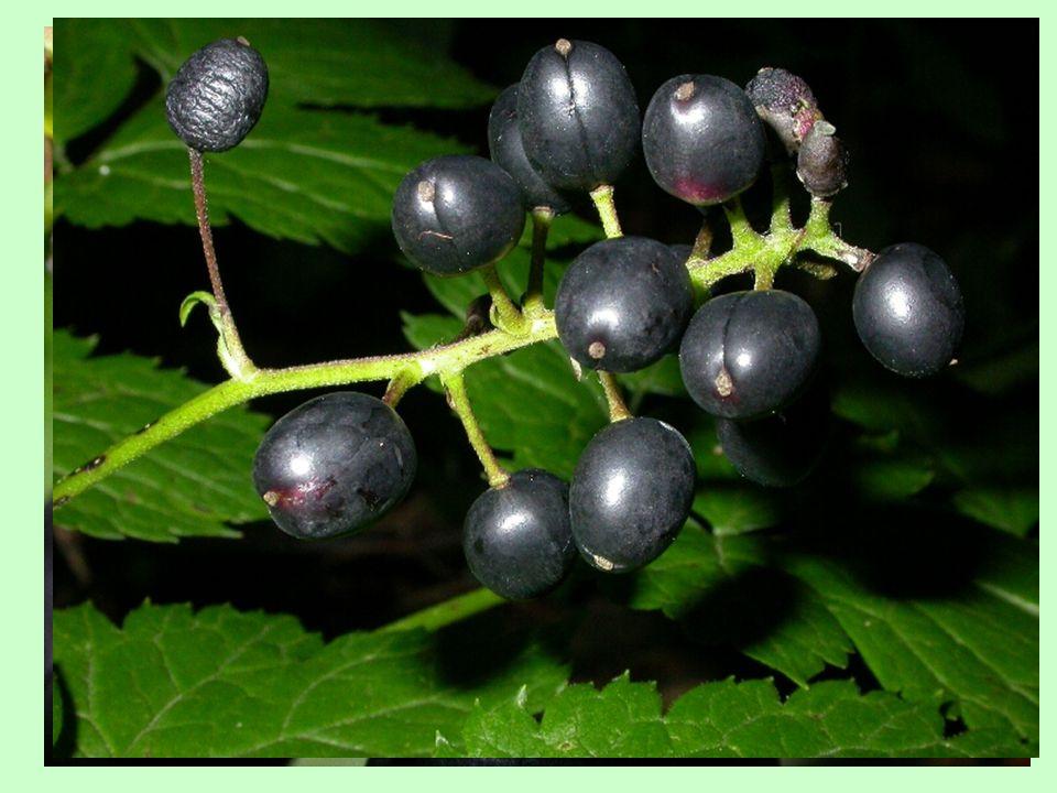 Apokarpní nepukavé plody bobule