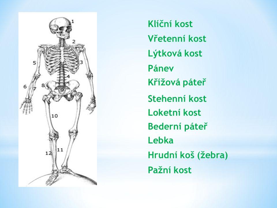 Klíční kost Vřetenní kost Lýtková kost Pánev Křížová páteř Stehenní kost Loketní kost Bederní páteř Lebka Hrudní koš (žebra) Pažní kost