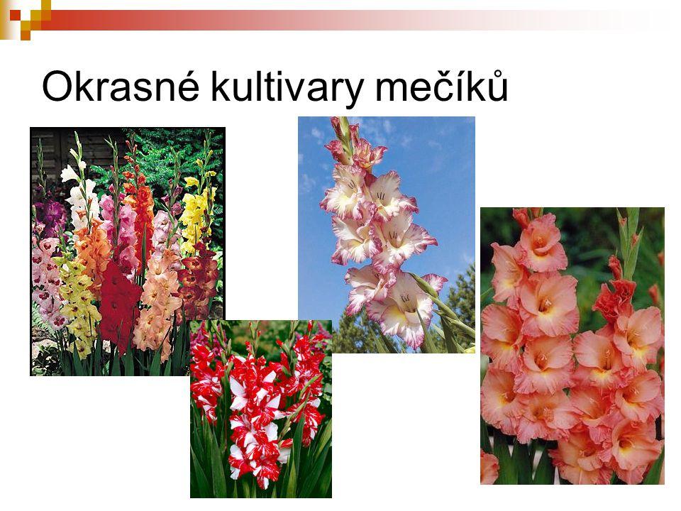 Šafrán setý (Crocus sativus) velmi stará kulturní bylina pěstován pro blizny – ceněné koření – ruční sklizeň nejvíce se pěstuje ve Španělsku, jižní Francii