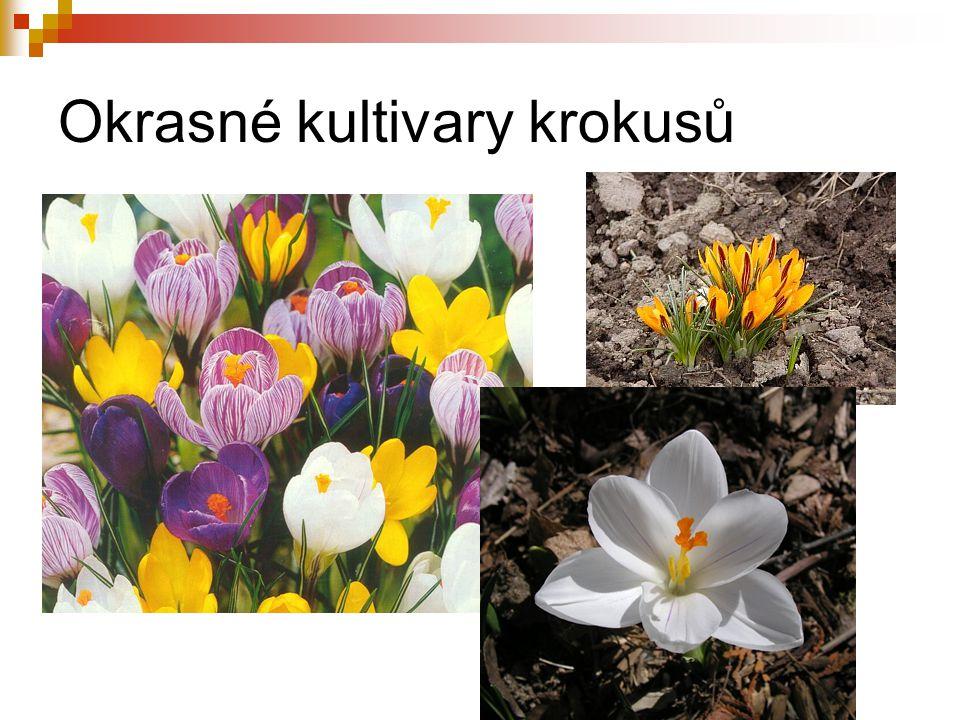 Okrasné kultivary krokusů