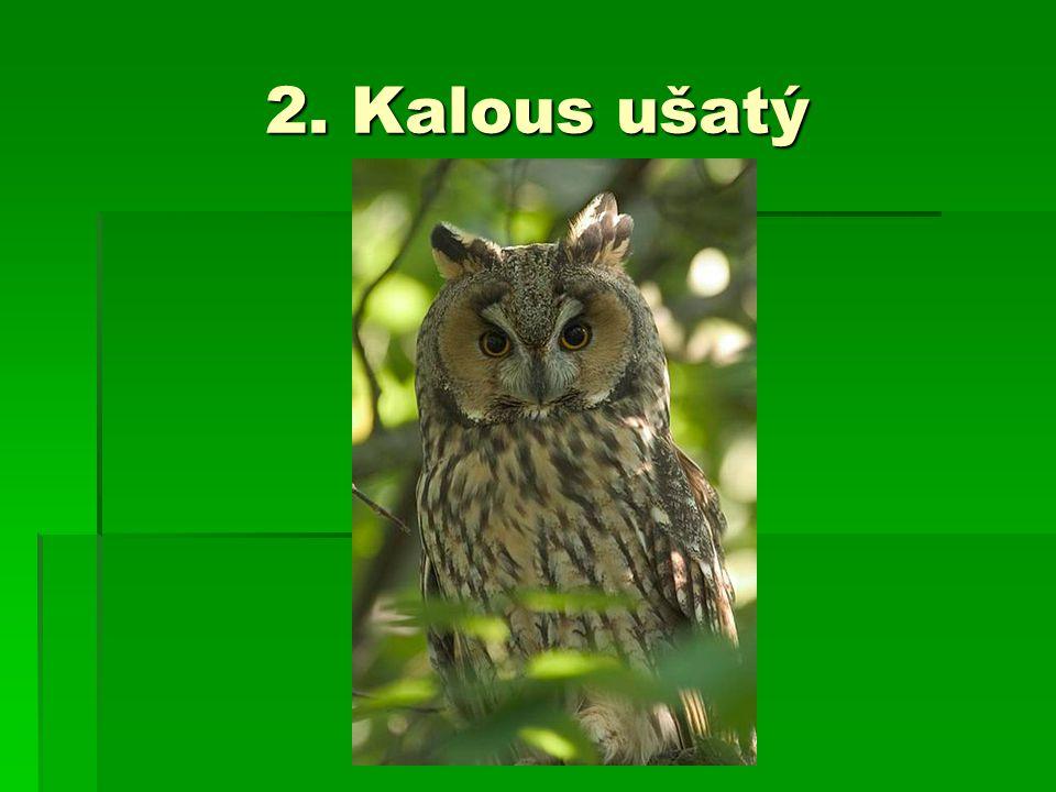 2. Kalous ušatý