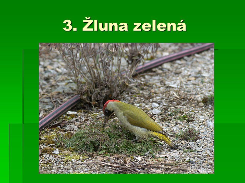 3. Žluna zelená
