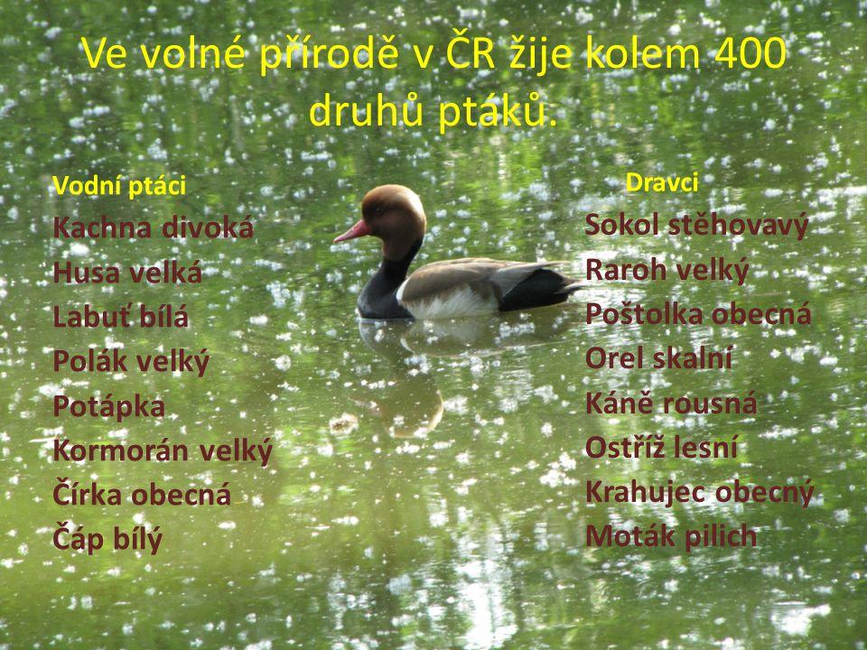Ve volné přírodě v ČR žije kolem 400 druhů ptáků. Vodní ptáci Kachna divoká Husa velká Labuť bílá Polák velký Potápka Kormorán velký Čírka obecná Čáp